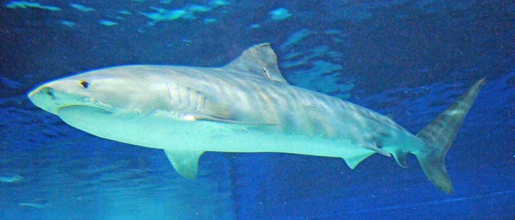イタチザメの画像 p1_27