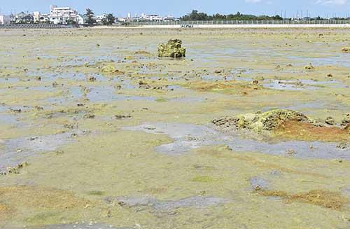 絶滅危惧貝が大量死 泡瀬干潟
