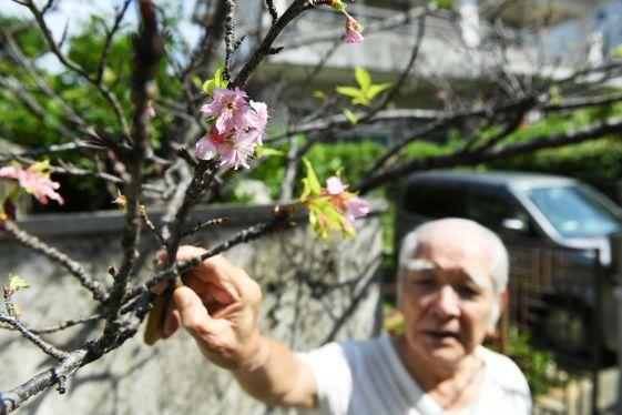 台風の影響? 秋に桜