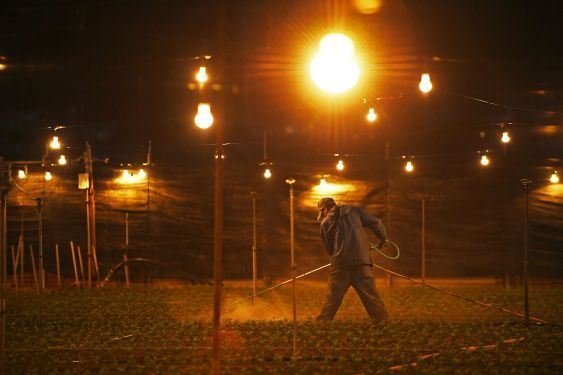 夜を徹してともる電球 正月向け黙々作業の電照菊農家 琉球新報 沖縄