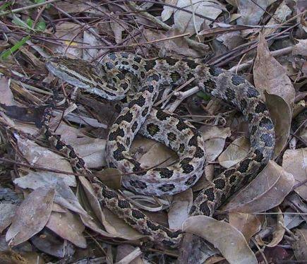 タイワンハブ生息域拡大 県内、9年で捕獲数5.5倍