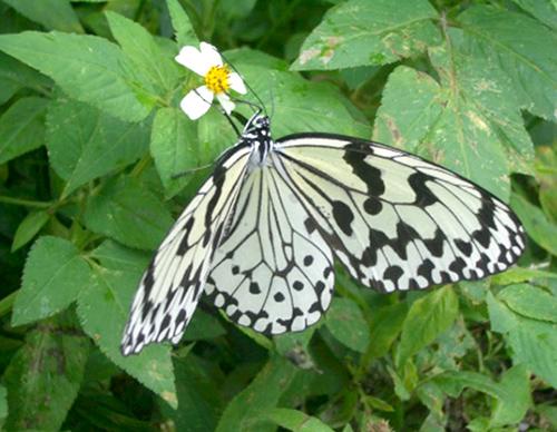 オオマゴダラが「県蝶」に 検討委で最終候補