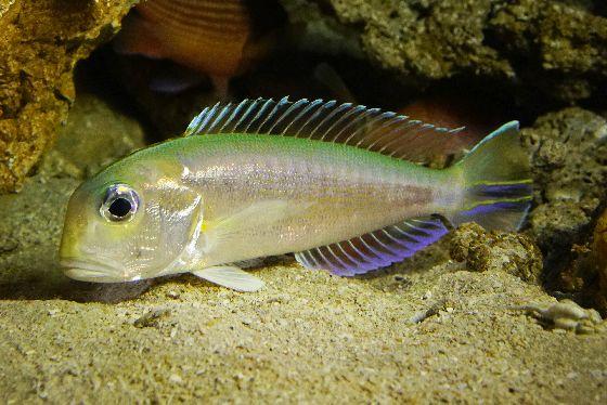 琉球列島固有の深海魚 ハナアマダイ  世界初展示