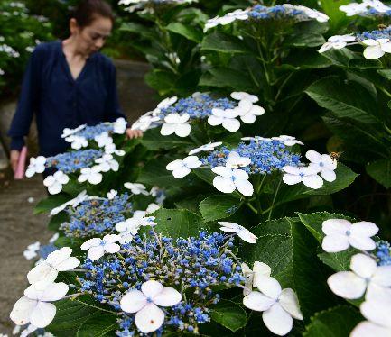 ガクアジサイが開花 名護で色鮮やか3千株