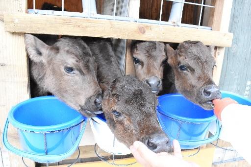 びっくり、四つ子産みました 珍しい多胎の牛が難産越え